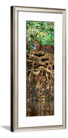 Jaguar (Panthera Onca) Resting at the Riverside, Three Brothers River