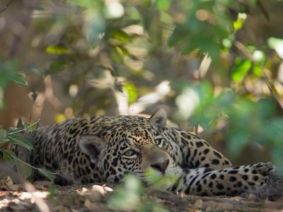 Jaguar, Panthera Onca, Resting in Shade-Roy Toft-Photographic Print