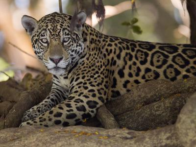 Jaguar, Panthera Onca, Resting in the Shade-Roy Toft-Photographic Print