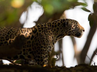Jaguar, Panthera Onca, Walking in the Shade-Roy Toft-Photographic Print