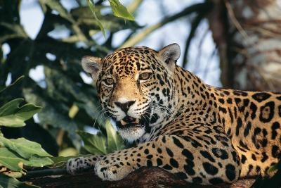 Jaguar Side View, Sitting in a Tree, Close Up--Photographic Print