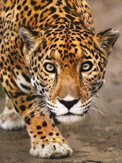Jaguar Stalking, Panthera Onca, Belize-Frans Lanting-Photographic Print