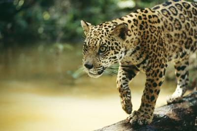 Jaguar Sub-Adult Male Crossing River on Log--Photographic Print