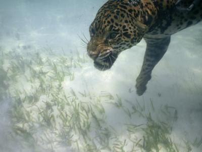 Jaguar Takes a Swim in the Clear Water Off the Shore of Cancun-Steve Winter-Photographic Print