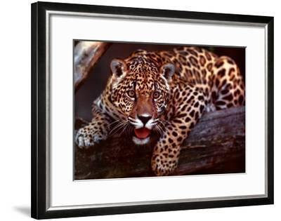 Jaguar-Gerry Ellis-Framed Art Print