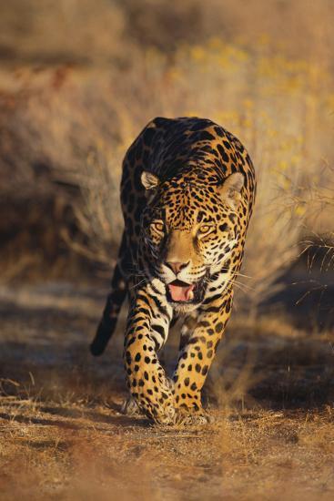 Jaguar-DLILLC-Photographic Print