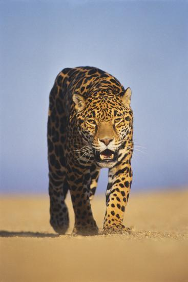 Jaguar-DLILLC-Photographic Print