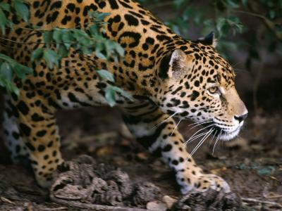 Jaguar-Jeff Foott-Photographic Print