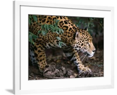 Jaguar-Jeff Foott-Framed Photographic Print