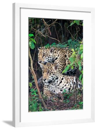 Jaguars (Panthera onca), Pantanal Wetlands, Brazil--Framed Photographic Print