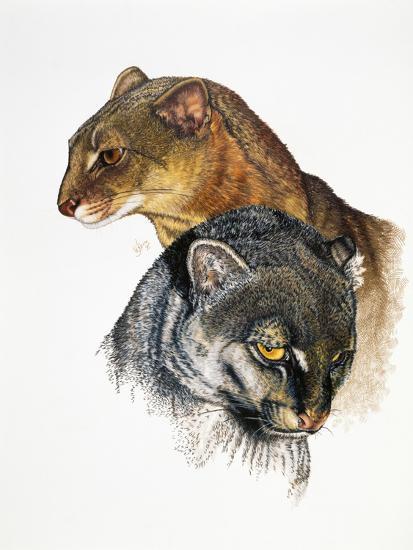Jaguarundi-Barbara Keith-Giclee Print