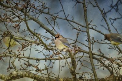 A Taste of Sunshine Cedar Wax Wings