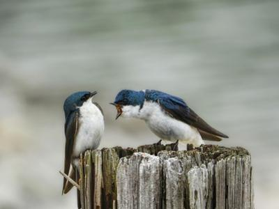 Angry Swallows by Jai Johnson