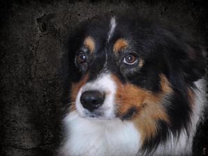 Bernese Mountain Dog by Jai Johnson