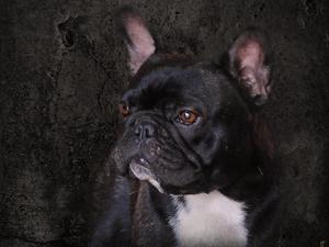 Black French Bulldog Portrait by Jai Johnson