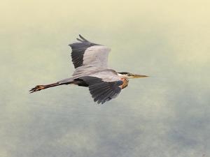 Blue Heron in Flight 1 by Jai Johnson