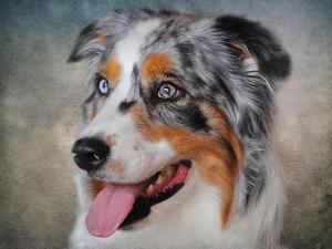 Blue Merle Australian Shepherd Portrait by Jai Johnson