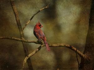 Cardinal on a Branch by Jai Johnson