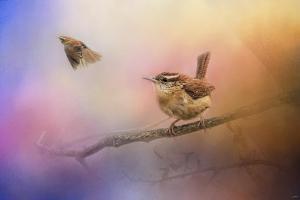 Carolina Wrens by Jai Johnson