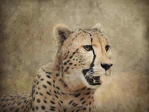 Cheetah by Jai Johnson