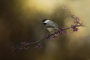 Chickadee in the Golden Light by Jai Johnson