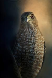 Coopers Hawk at Sunset by Jai Johnson