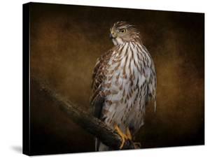 Coopers Hawk Portrait 1 by Jai Johnson