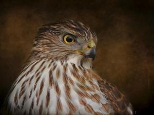 Coopers Hawk Portrait 2 by Jai Johnson