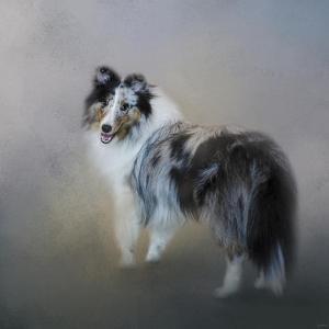 Did You Call Me Blue Merle Shetland Sheepdog by Jai Johnson