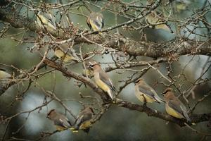 Family Reunion Cedar Wax Wings by Jai Johnson