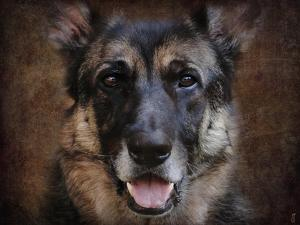 German Shepherd Face by Jai Johnson
