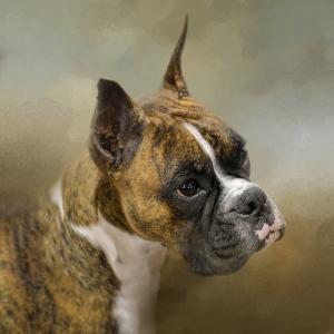 Golden Brindle Boxer by Jai Johnson