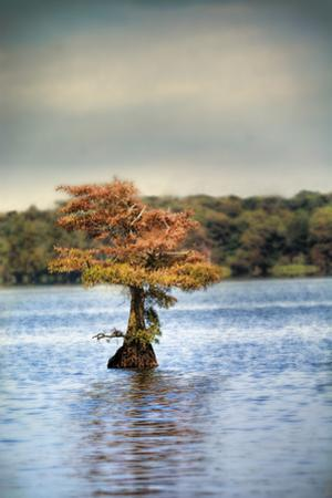 Lonely Little Cypress Tree by Jai Johnson