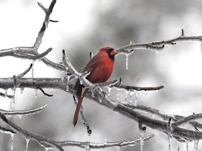 Male Cardinal Braving the Cold