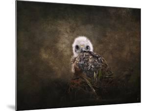 Nestling Baby Red Shouldered Hawk by Jai Johnson