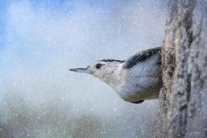 Nuthatch in the Snow by Jai Johnson