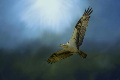 Osprey in the Evening Light