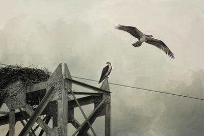 Ospreys at Pickwick