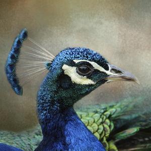Peacock 3 by Jai Johnson