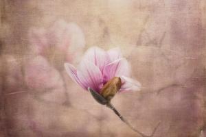 Pink Magnolia 2 by Jai Johnson