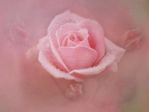Pink Rose after the Storm by Jai Johnson