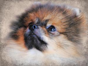 Pomeranian Portrait by Jai Johnson