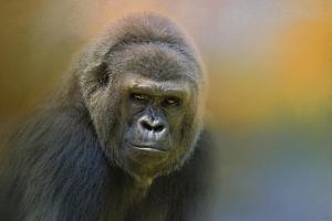 Portrait of a Gorilla by Jai Johnson