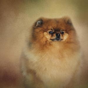 Proud Pomeranian by Jai Johnson