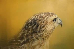 Red Tailed Hawk at Sunset by Jai Johnson