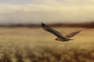Redtail in the Field by Jai Johnson