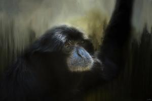Resting Siamang Ape by Jai Johnson