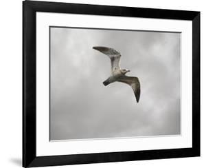 Ring Billed Gull at Reelfoot by Jai Johnson