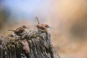 Two Little Wrens by Jai Johnson