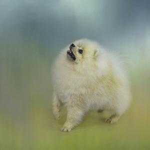 Watching for Rain Drops Pomeranian by Jai Johnson